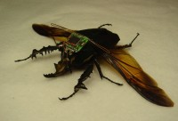 Cyborg Beetle (Bild: UC Berkeley)
