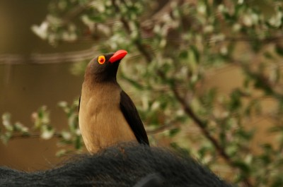 Red_billed_oxpecker_close