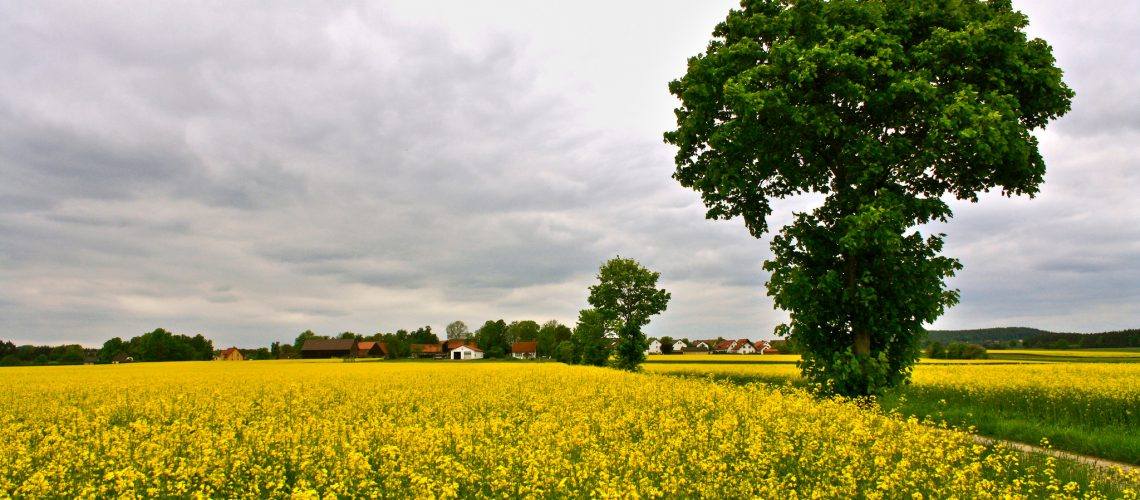 Rapsfeld (adapted) (Image by Daniel Schiersner [CC BY 2.0] via Flickr