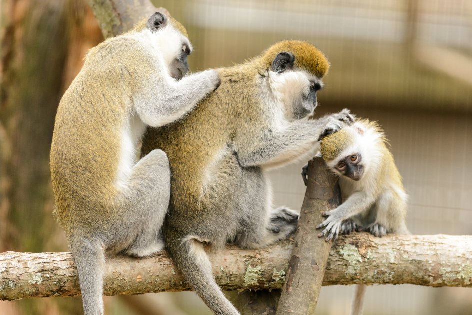 Grivet Monkey Family Grooming (image by Eric Kilby [CC BY-SA 2.0] via flickr)