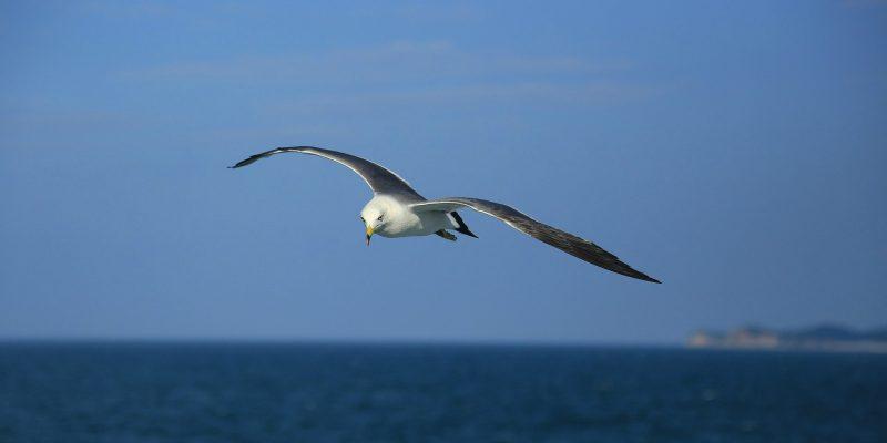 seagull (image by dyangerous [CC0 Public Domain] via Pixabay)