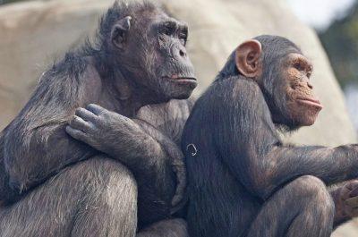chimps-image-by-pixel-mixer-cc0-public-domain-via-pixabay