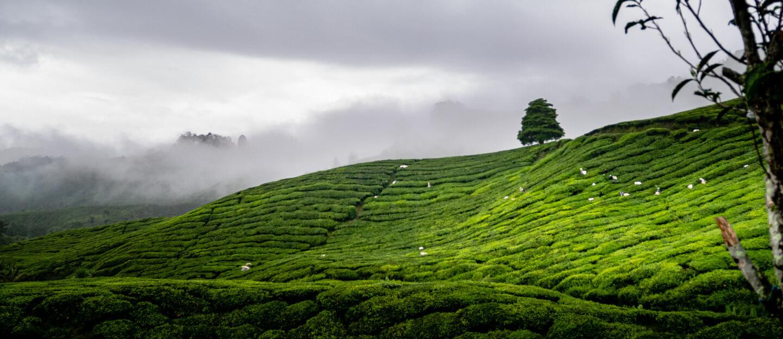 Die Cameron Highlands auf Malaysia. Die grünen Hänge erheben sich in den Nebel hinein.